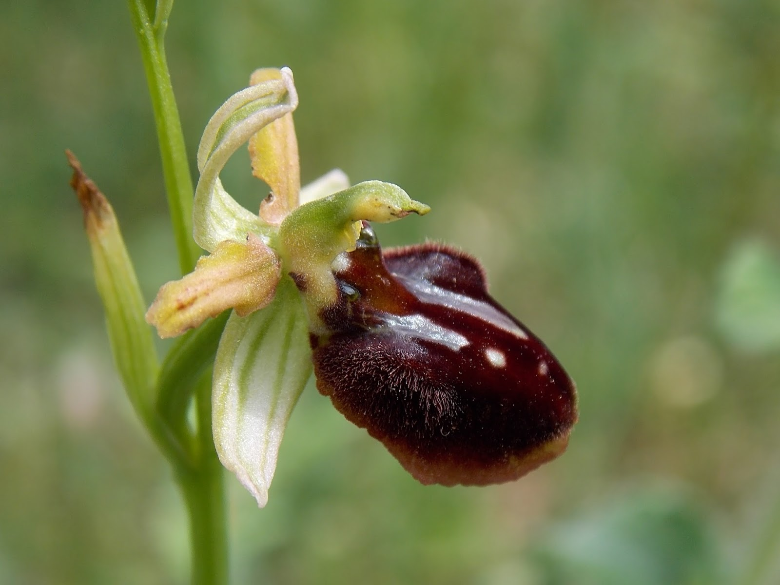 Ophrys garganica