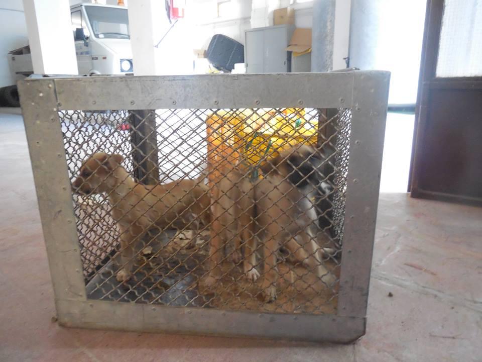 Cuccioli Chiusi In Gabbia Foggia
