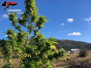 Marijuana Arrestato Pregiudicato