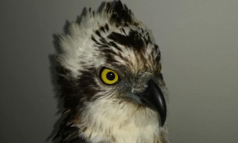 apricena falco pescatore della finlandia