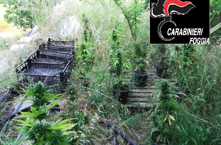 maxi piantagione cannabis arrestati padre e figlio
