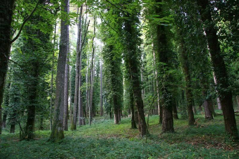 faggi vetusti foresta umbra