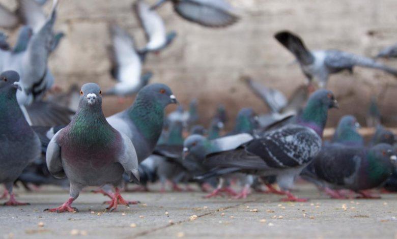 cerignola peste aviaria