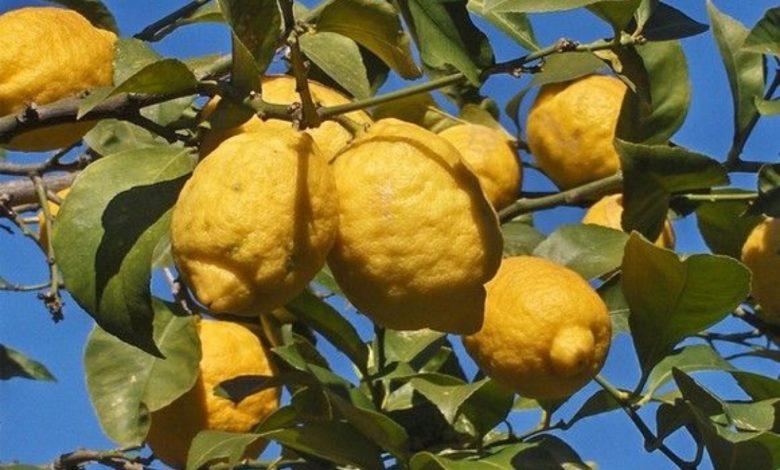 limone-femminello-gargano