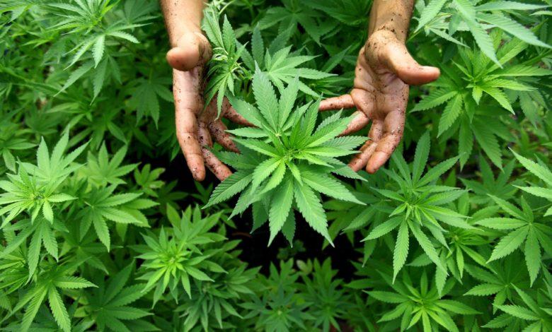 lucera-uomo-arrestato-marijuana
