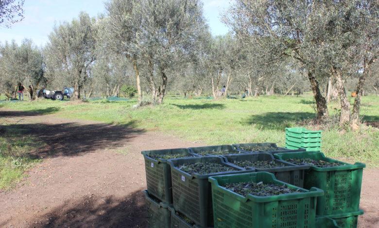 olivicoltura-puglia-cia-capitanata