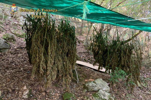 gargano-sequestrate-piante-canapa
