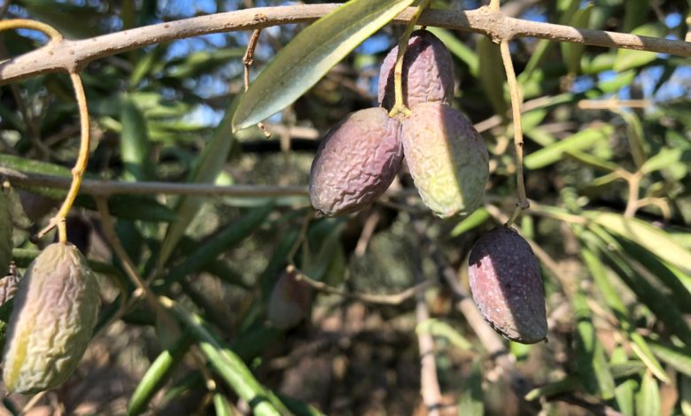 puglia-olive