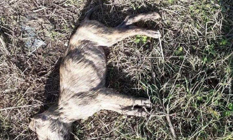 san-giovanni-rotondo-cani-morti