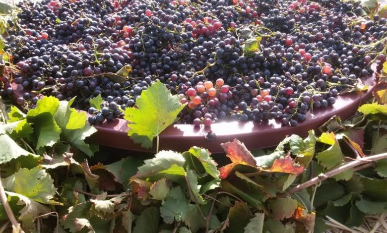 capitanata-uva-vino