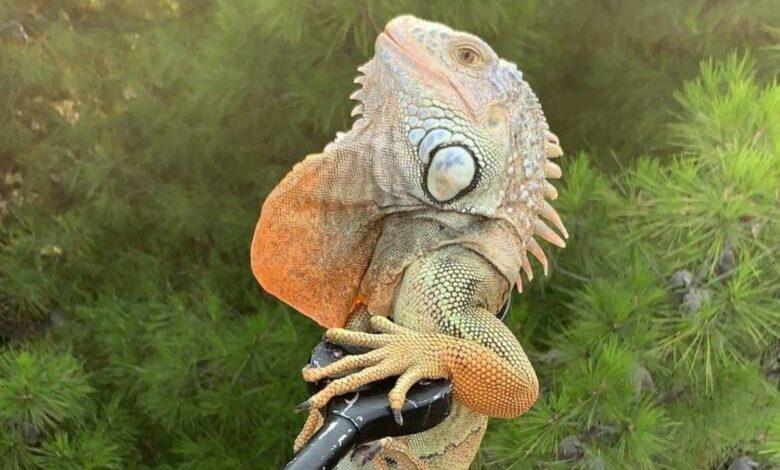 foggia iguana