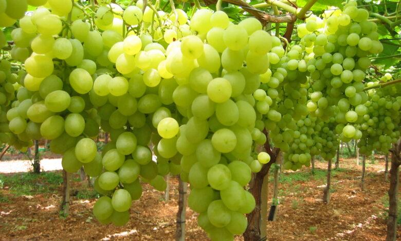 uva-da-tavola-puglia