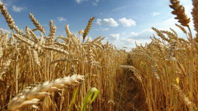 Photo of Puglia, tutti i numeri del grano duro. Nel 2020 solo in provincia di Foggia prodotti 7milioni di quintali