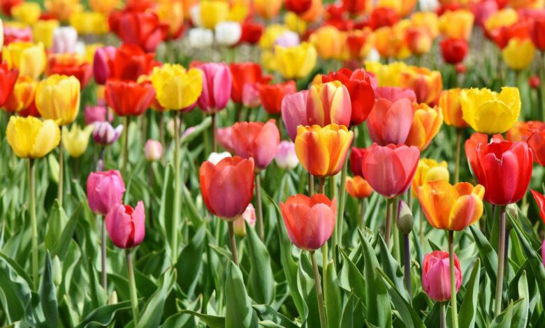 tulipani-foggia