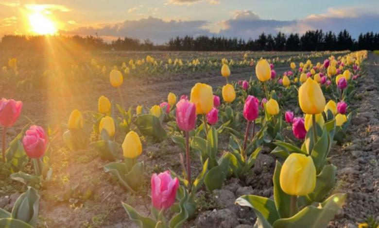 tulipani foggia