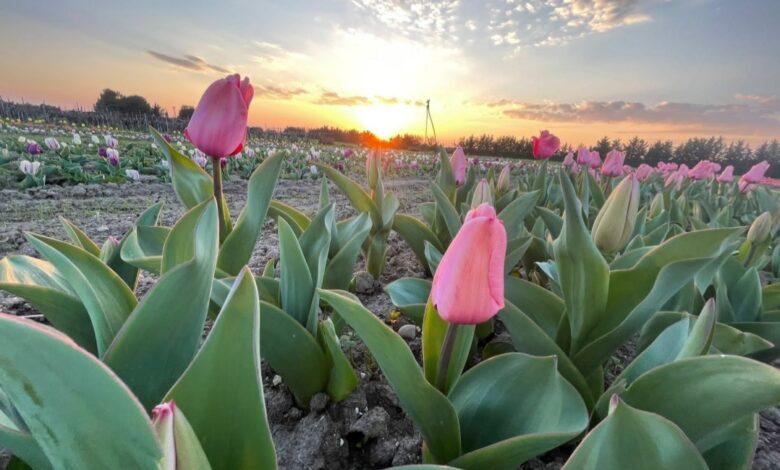 foggia tulipani