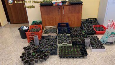 Photo of Sequestrate oltre 400 piante di marijuana: scoperte grazie al fiuto dei pastori tedeschi Efes e Horst