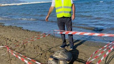 Photo of Spiaggiata un'altra tartaruga Caretta Caretta, trovata morta sulla battigia del lido Bonomo