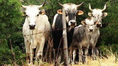 """Photo of """"Stato brado"""": sequestrati 80 capi di bestiame tra caprini, ovini e bovini sul Gargano"""
