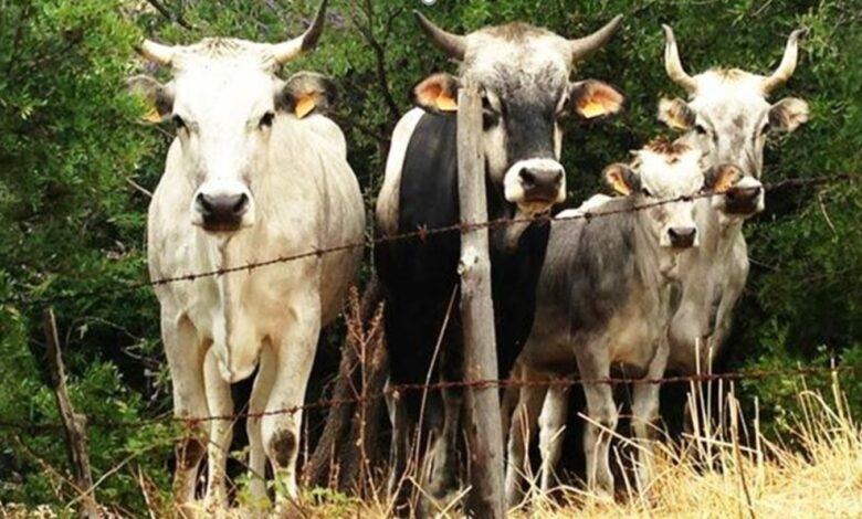 gargano bestiame sequestrato