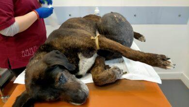 Photo of Foggia, cane con un tumore di quasi 10 kg: le guardie zoofile di Accademia Kronos salvano la vita a Rex
