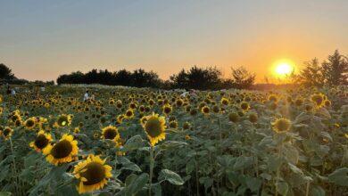 Photo of Foggia, chiude il campo di girasoli: riaprirà il prossimo anno