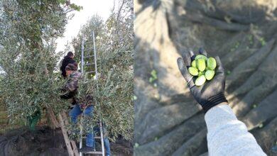 """Photo of """"Michele Cianci"""", le olive bella di Cerignola raccolte sul terreno confiscato alla mafia"""
