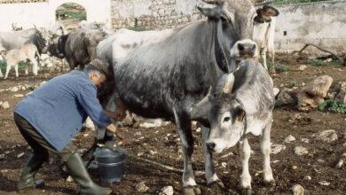 Photo of Contributi a fondo perduto per salvaguardare la mucca podolica del Gargano